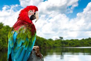 Pictures Parrot Ara (genus) Beak Animals