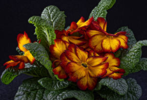 Image Primula Closeup Black background Leaf Flowers