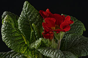 Photo Primula Closeup Red Leaf Flowers