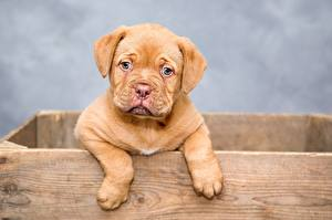 Image Puppies Staring Paws Dogue de Bordeaux animal