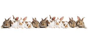 Images Rabbits Many White background Animals