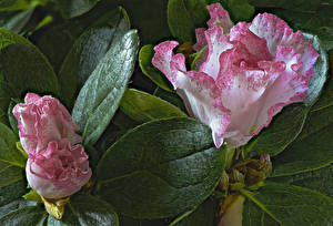 Photo Rhododendron Closeup Foliage Flowers