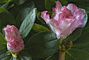 Hintergrundbilder Rhododendren Großansicht Blattwerk Blüte
