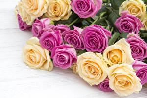 Bilder Rosen Großansicht Blumen