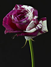 Fotos Rose Großansicht Schwarzer Hintergrund Blüte