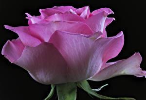 Bilder Rosen Großansicht Schwarzer Hintergrund Rosa Farbe
