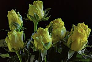 Bilder Rosen Großansicht Schwarzer Hintergrund Gelb Blumen