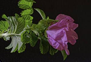 Hintergrundbilder Rose Nahaufnahme Rosa Farbe Blattwerk Blumen