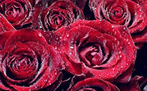 Bilder Rosen Großansicht Rot Tropfen Blüte