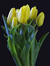 Bilder Tulpen Schwarzer Hintergrund Gelb Blumen