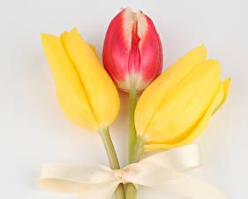 Bilder Tulpen Großansicht Grauer Hintergrund Drei 3 Schleife Blüte