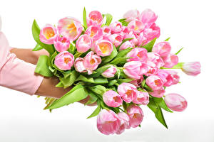 Image Tulips Many White background Pink color Flowers
