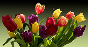 Picture Tulips Multicolor Flowers