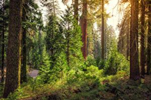Fotos USA Park Wälder Kalifornien Bäume Fichten Kings Canyon National Park Natur