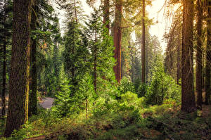 Image USA Park Forest California Trees Spruce Kings Canyon National Park Nature