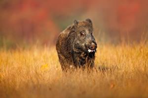 Picture Wild boar Grass animal