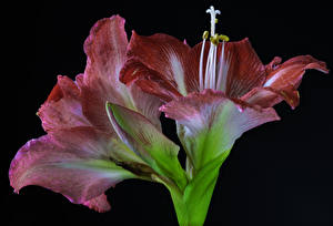 Wallpapers Amaryllis Closeup Black background Flower-bud Flowers