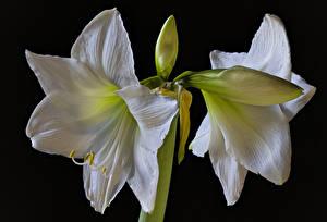Fotos Amaryllis Großansicht Schwarzer Hintergrund Weiß Blütenknospe Blumen