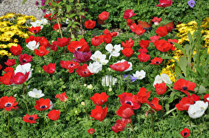 Pictures Anemones Many Red Flowers