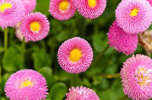 Hintergrundbilder Gänseblümchen Nahaufnahme Rosa Farbe Blumen
