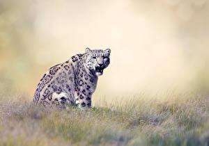 Hintergrundbilder Große Katze Leopard