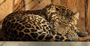 Fotos Große Katze Leopard Schlaf Tiere