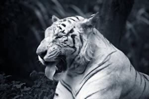 Photo Big cats Tigers Snout Tongue Funny animal