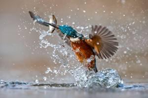 Bilder Vogel Eisvogel Fische Spritzwasser