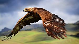 Wallpapers Birds Eagles Flight Wings