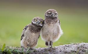 Bilder Vögel Eulen Zwei Süß Burrowing owl Tiere