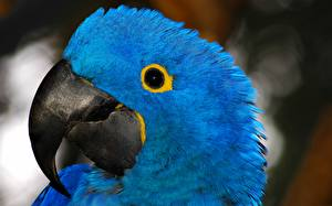 Wallpaper Bird Parrots Ara (genus) Beak Head Blue Animals