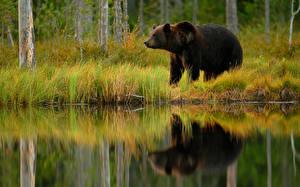 Bilder Ein Bär Braunbär Spiegelung Spiegelbild
