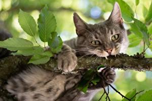 Bilder Katzen Eckzahn Ast Pfote Blick ein Tier