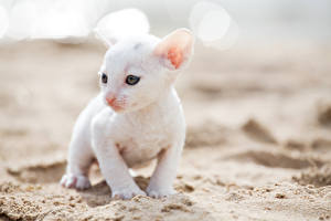 Picture Cats Kitty cat White Cornish Rex