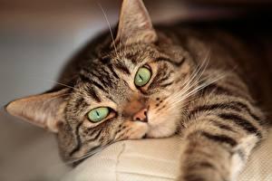 Bilder Katze Starren Schnauze Tiere