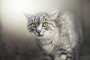 Fotos Katze Starren Schnauze Schnurrhaare Vibrisse Tiere