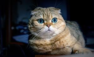 Bilder Katze Schottische Faltohrkatze Starren Schnauze