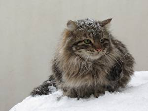 Pictures Cats Snow Fluffy