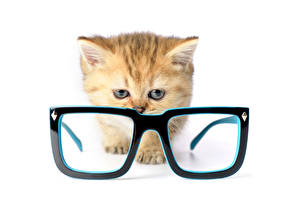 Picture Cat White background Kittens Glasses Animals