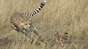 Bakgrunnsbilder Geparder Løp Jakten Dyr