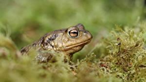 Bilder Großansicht Frosche True toad Tiere