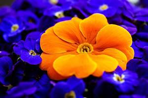 Pictures Closeup Macro Primula Orange Flowers