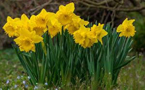 Картинка Нарциссы Вблизи Желтый Цветы