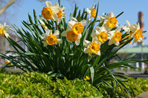 Pictures Narcissus Many Flowers