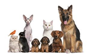 壁纸,,犬,家貓,兔,鸟,白色背景,小狗,牧羊犬,坐,動物