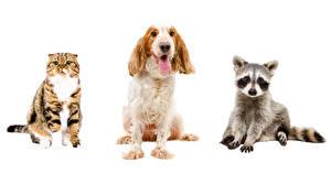 Bilder Hunde Katze Waschbären Weißer hintergrund Drei 3 Spaniel Tiere