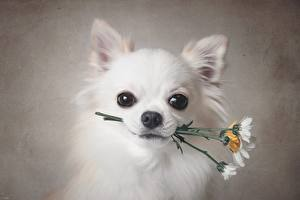 Pictures Dogs Chihuahua White Glance Snout