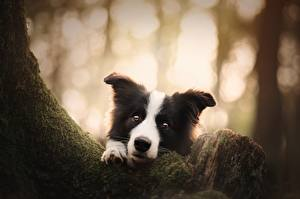 Bilder Hund Starren Border Collie