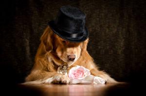 Hintergrundbilder Hund Golden Retriever Rosen Der Hut