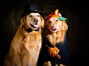 Bilder Hunde Golden Retriever Zwei Der Hut Tiere